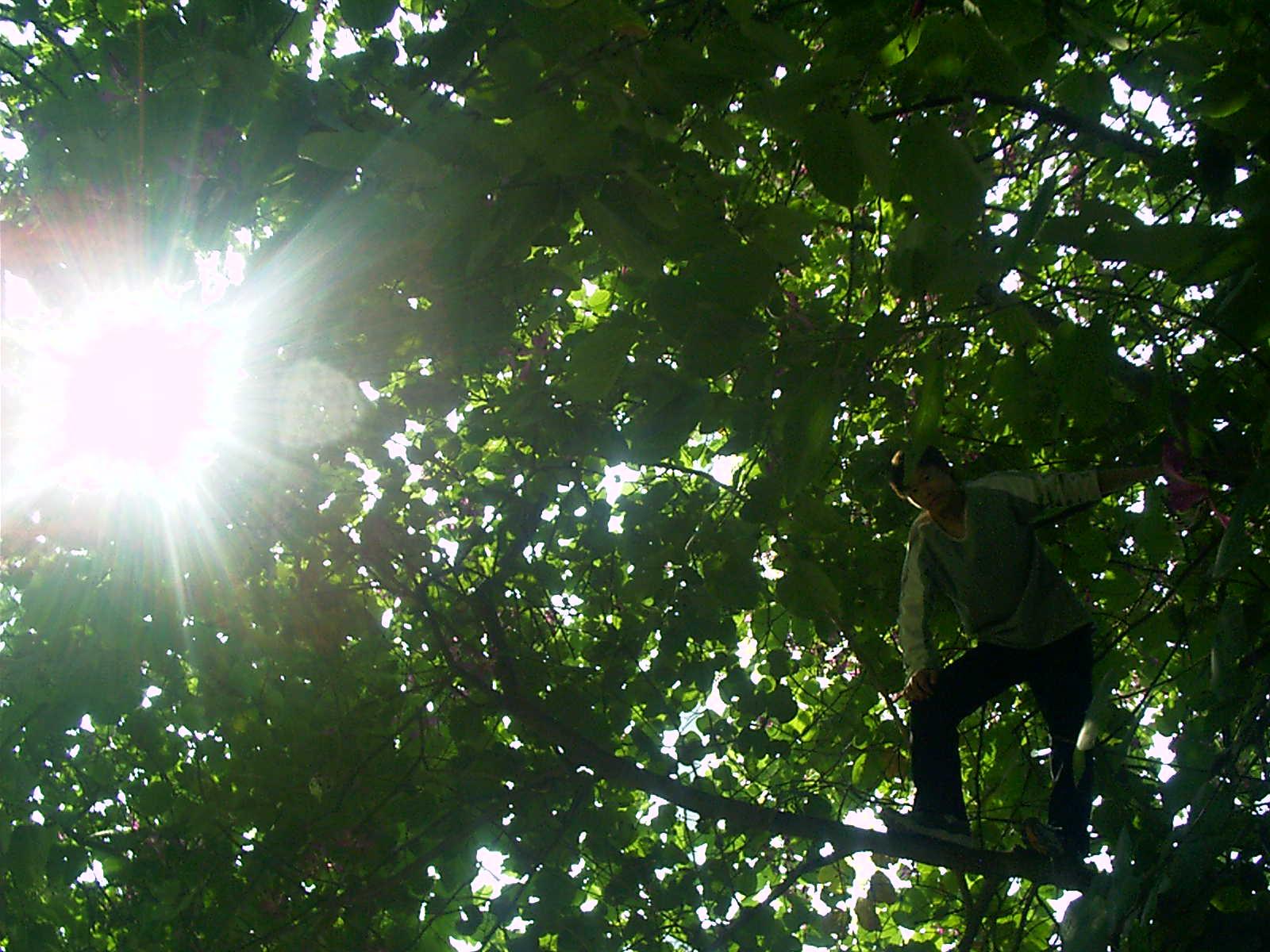 阳光照耀下的市树 扁桃树